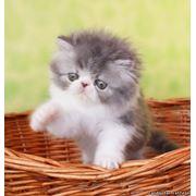 Персидский котик голубой серебристый с белым