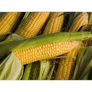 Кукуруза фотография