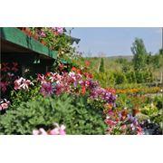 Гибискус разных расцветков Hibiscus фото