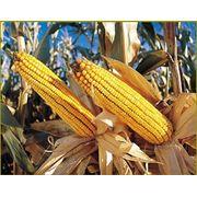Кукуруза в Молдове фотография