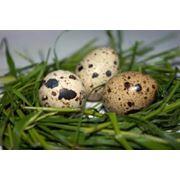 Яйцо перепелиное столовое. фото