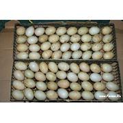 Яйца бройлера инкубационные фото