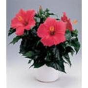 Цветы гибискус