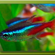 Аквариумная рыбка Неон голубой фото