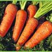 Морковь Ред-Кор первого сорта фото