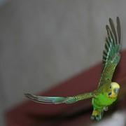 Попугаи волнистые фото
