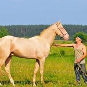 Ахалтекинский жеребец кличка Мерхе/Akhal-Teke stallion nickname Merhi фото