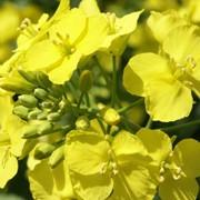 Семена. Гибрид горчицы желтой, кориандр голландский сорт Элита, ячмень озимый фото