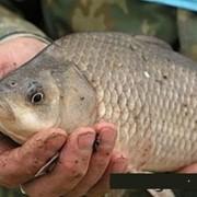 Рыба свежемороженая, Сазан свыше 3 кг (мороженая) фото