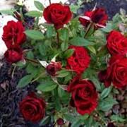 Саженцы роз, розы бордюрные. фото