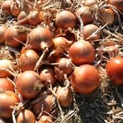 Семена лука в краснодаре