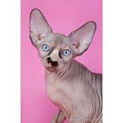 Котята канадский сфинкс фото