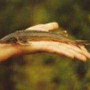 Рыба семейства осетровых фото