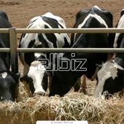 Скот крупный рогатый фото