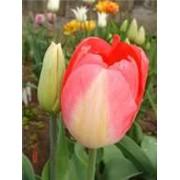 Луковицы тюльпана Джудит Лейстер фото