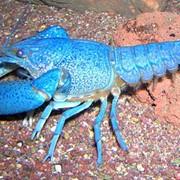 Рак Флоридский Голубой (ДЕКОРАТИВНЫЙ, НЕСЪЕДОБНЫЙ) фото