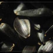 Семена подсолнечника сорт Игор фото