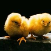Цыплята суточные породы Геркулес фото