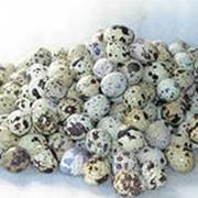 Яйца перепелинные фото