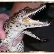 Продаются ручные крокодильчики малыши фото
