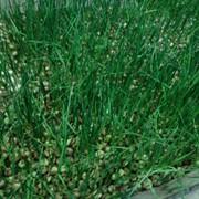 Зелёный лук фото