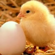Реализуем партию суточных цыплят кросса Хайсекс Белый Реализуем партию суточных цыплят кросса Хайсекс Коричневый фото