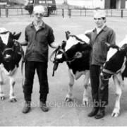 Трансплонтация эмбрионов, коровы из пробирки фото