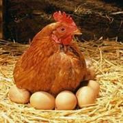 Выращивание кур в Молдове фото