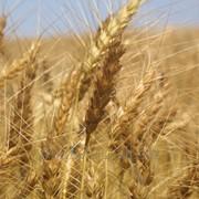 Пшеница озимая 5 класс фото