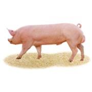 Племінні свині, хряки фото