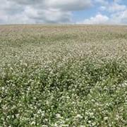 Лён соломка льна льнотреста семена льна лен-долгунец продам фото