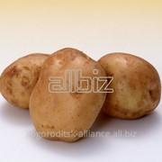 Продовольственный картофель фото