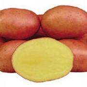 Картофель голландский сорт Розалинд (Rosalind) фото