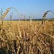 Страхование сельскохозяйственных культур, многолетних насаждений фото