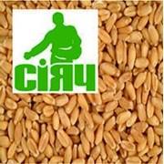 Терміново продаю насіння озимого жита. фото