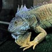 Игуана зеленая (Iguana iguana) фото