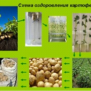 Получение микроклубней оздоровленного семенного картофеля фото