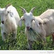 Фармавит для овец и коз фото