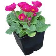 Цветок Примула фото