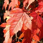Клен Гиннала(Acer ginnala) фото