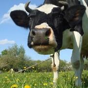 Мясо коровы (говядина) первой категории фото