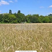 Сорта озимой пшеницы купить цена Украина фото