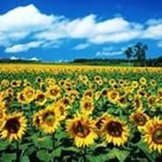 Семена подсолнечника Форвард фото