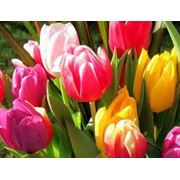 Продажа тюльпанов фото