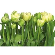 Фотообои на стену Тюльпаны Komar 8-900 Tulips фото