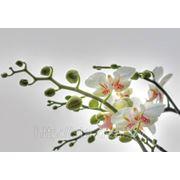 Komar Orchidee фото