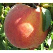 Саженцы персика в Молдове