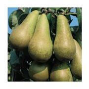 pomi de prăsad soiurile: Noiembrie și Kiffer-seidling