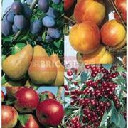 Producerea pomilor fructiferi