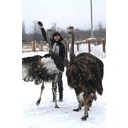 Туры на страусиную ферму фото